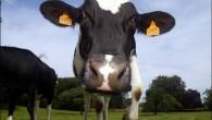 Agriculture vaca